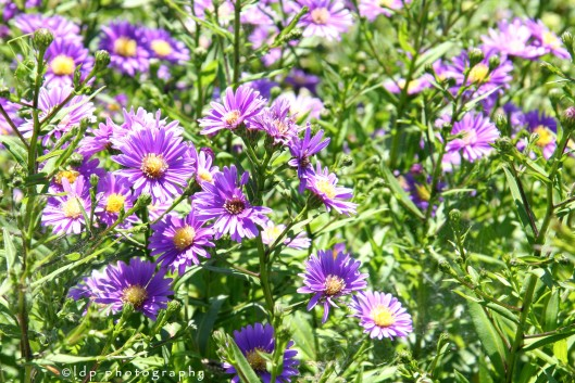 purplefioreWM