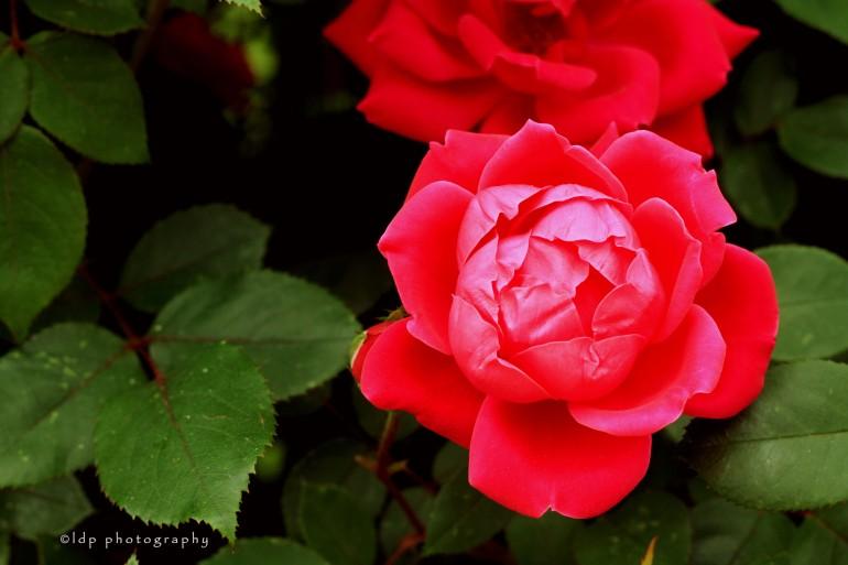 rose1WM