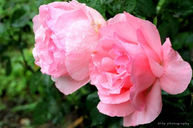 pinkrosesWM