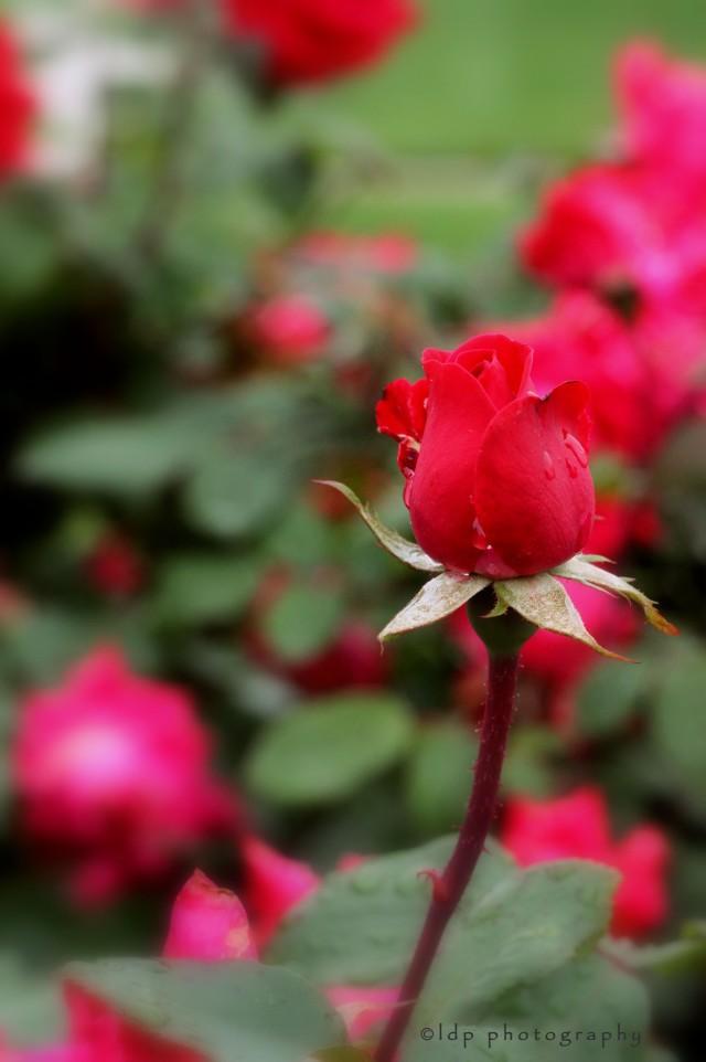 rosebudWM