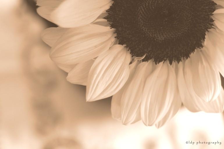 sunflowersepiaWM