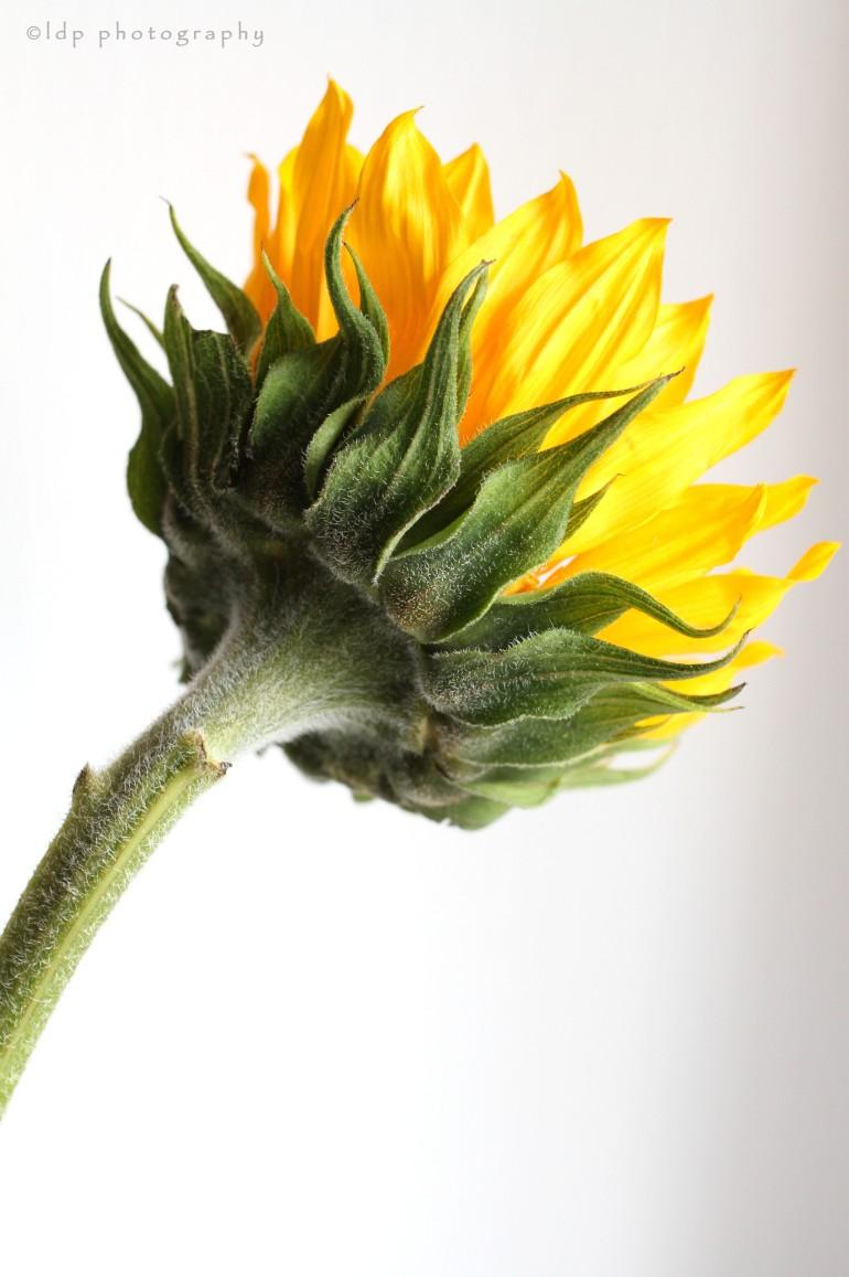 sunflowerbrightWM