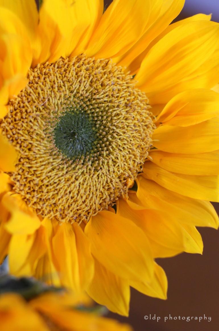 sunflowerupcloseWM
