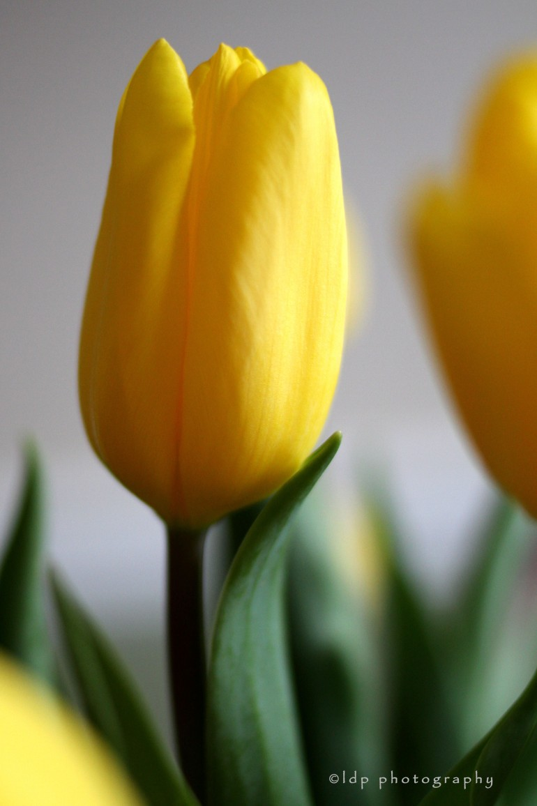 yellowtulipWM