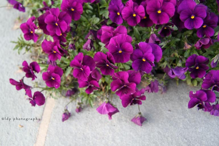 purplepetuniaWM