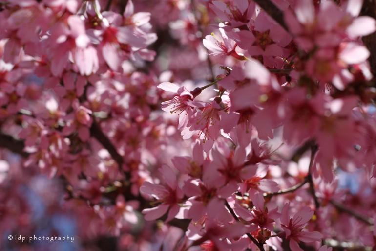 cherryhorizontalWM