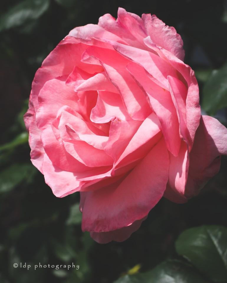 pinkroseIGWM