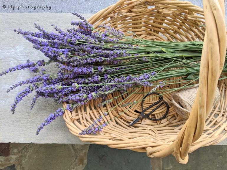 lavenderharvestWM